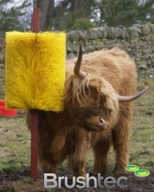 Highland cow using cow scratch brush.